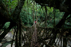At over 30m long, Ritymmen bridge is the longest living root bridge (Alex Treadway) Tags: old trees india man male nature water forest river palms walking landscape outdoors photography amazing vines ancient rainforest asia stream long crossing natural suspension unique indian traditional roots bridges landmark structure boulders jungle tropical vegetation strong daytime growing elevated ficuselastica youngadult northeast connection sturdy evolving scenics oneperson doubledecker grassroots sustainable remarkable meghalaya undergrowth spanning traveldestinations ruralscene bioengineering wetplace rubbertrees colourimage tropicalclimate livingrootbridges rootbridges cherrapungee uritymmenbridge