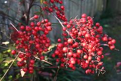 Red Berries on Shrub in Houston, TX: Nandina domestica (marylea) Tags: red home garden texas berries idplease houston shrub peggys 2010 barberry nandinadomestica heavenlybamboo mar12