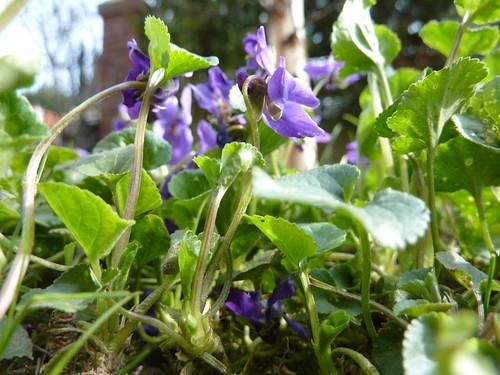 Violettes Bis