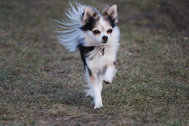 Chihuahua läuft frei