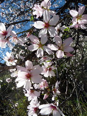Gran Canaria - Almond Trees Blooming Around Soria's Dam