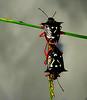Coito (perpetuando a espécie) / Coitus (perpetuating the species) (Valcir Siqueira) Tags: nature insect 1001nights cópula coitus copulation coito