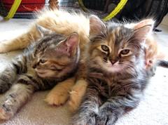 A Pile of Contentment (elycefeliz) Tags: cats yoda kittens gatos zippy viva katzen nursing weaning luckyjack velvetpaws
