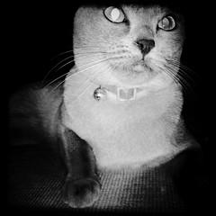 Nova the Cat Endures a Blue Gel Filter Flash by Jason Willis