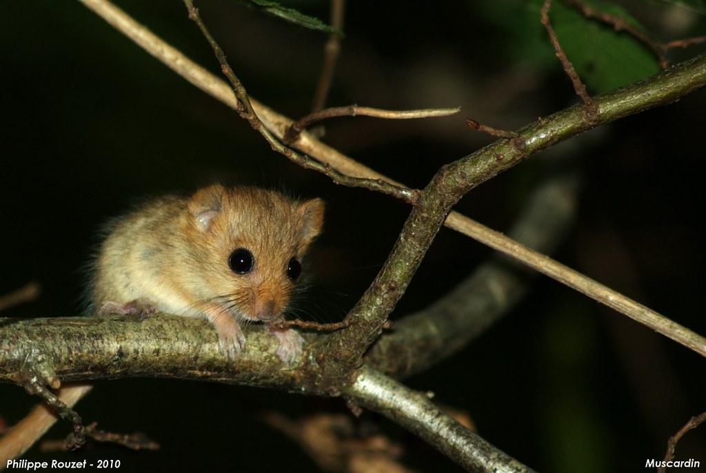 Muscardin (Muscardinus avellanarius) - éspèce protégée