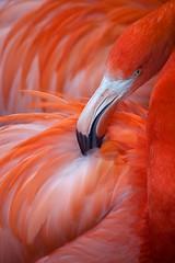 FLAMINGO  #1 (GOLDENORFE) Tags: bird chesterzoo flamigo platinumpeaceaward