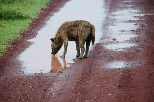 Drink Up Dirty Hyena