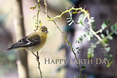 happy earth day (8999293@N03), photography tags:  bird desert ironwoodtree earthdaygoldfinch