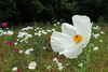 Belmont - Crested Pricklypoppy (Drriss & Marrionn) Tags: flowers usa flora texas belmont wildflowers papaveraceae whitepoppy pricklypoppy ranunculales argemonepolyanthemos crestedpricklypoppy taxonomy:order=ranunculales taxonomy:family=papaveraceae taxonomy:subclass=magnoliidae taxonomy:binomial=argemonepolyanthemos taxonomy:genus=argemone taxonomy:subfamily=papaveroideae flickrsfinestimages1 taxonomy:class=spermatopsida belmonttx taxonomy:species=polyanthemos