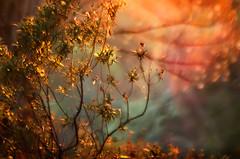 Autumn 0.6 (bresciano.carla) Tags: naturalmente pentaxart pentaxk500 trioplan100mm manuallens vintage bokeh tree nature flickr