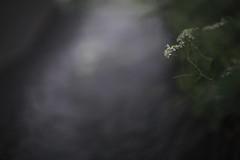 (HANAZONO) Tags: japanese wildflower flower nature rainy bokeh 85l ef85mm f12l hanazono