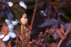Alone at Sunset (robinlamb1) Tags: bird nature animal hummingbird annashummingbird male outdoor backyard liliac dusk sundown