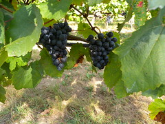 20161001_Weinwandertag_035 (weisserstier) Tags: wien vienna austria weinwandertag wandern hiking weintrauben wein lebensmittel food nahrungsmittel frucht