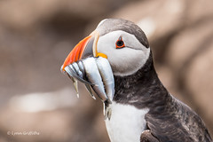 A successful fishing expedition D50_2170.jpg (Mobile Lynn) Tags: nature birds puffin wild bird fauna fratercula wildlife farneislands northumberland england gb