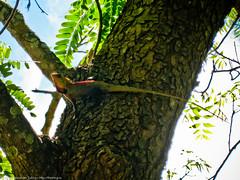 Большой геккон