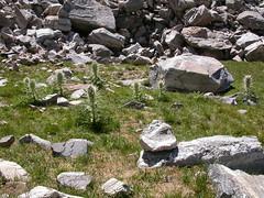 Cirsium scariosum (Matt Lavin) Tags: pink white montana purple habit native bigsky habitat herb asteraceae perennial latesummer meadowthistle elkthistle cirsiumscariosum gallatinpeak