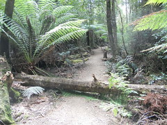 Natural Division (mikecogh) Tags: forest nationalpark log path fallen tasmania division ferns tahune