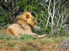 the King (Nanix10) Tags: africa southafrica addo lion sleepy lazy felino africadosul addoelephantnationalpark preguica