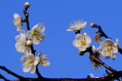 梅開雙十 - Plum Blossoms - Taichung City municipal Shuang-Shih Junior High School (prince470701) Tags: taiwan plumblossoms 梅花 sonya850 sony135zaf18 台中市雙十國中 taichungcitymunicipalshuangshihjuniorhighschool
