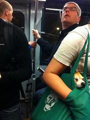 Meanwhile On Muni (davitydave) Tags: sanfrancisco california dog pet chihuahua bus car animal train subway mammal publictransportation muni commute bayarea commuter passenger rider njudah sfist doginabag trainstalking reusablebag