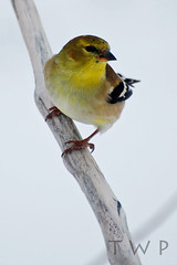 Winter Wear (WanderWorks) Tags: winter white snow canada bird yellow newfoundland labrador branch goldfinch beak american perch americangoldfinch carduelistristis carduelis tristis dsc3042c2fg