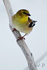 Winter Wear (WanderWorks) Tags: winter white snow canada bird yellow newfoundland labrador branch goldfinch beak american perch americangoldfinch carduelistristis carduelis tristis dsc3042c2fg