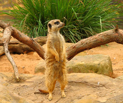 The Sentry (Colorado Sands) Tags: standing zoo meerkat oz guard sydney australian australia lookout newsouthwales tarongazoo sentry meerkats zooanimals sandraleidholdt australianzoos leidholdt sandyleidholdt