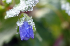 Frosty Monday Blues (DeniseJC) Tags: blue flower macro garden weed frost hmb