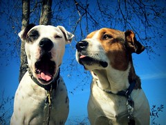fun fun (Willow Creek Photography) Tags: dog dogs puppy mutt canine pitbull funnydog mansbestfriend funnyfaces mongrel femaledog k9 apbt americanpitbullterrier whitepitbull brownandwhitedog pitbullterrier funnydogs funnydogfaces malepitbull spottedpitbull kingstonreyphotography