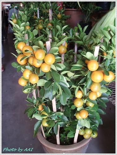 Lime plants