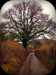 Spectacular Branching on the way to Bonehill (Dazzygidds) Tags: uk england walking devon lichen dartmoor widecombeinthemoor dartmoornationalpark graniteoutcrops mossytrees twomoorsway thewestcountry bonehillrocks cafeonthegreen britishnationalparks chinkwelltor honeybagtor b3387 bonehillvillage