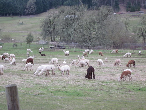 A really large herd of alpaca