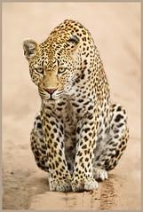 The Kikilezi Female (hvhe1) Tags: africa nature animal female cat southafrica bravo feline wildlife safari leopard bigcat stare afrika predator mala gamedrive gamereserve luipaard pantherapardus specanimal hvhe1 hennievanheerden