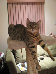bengal cat dangles her front legs straight down on a cat tree