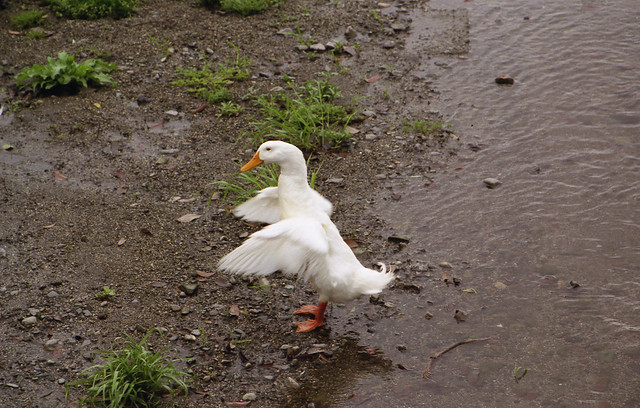 アヒルの水遊びのフリー写真素材