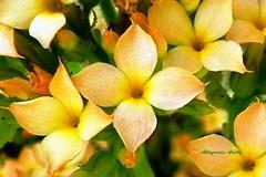 Thuridge (Altagracia Aristy) Tags: flowers flores flower amrica dominicanrepublic flor tropic caribbean tiniest antilles laromana caribe florecitas littleflower repblicadominicana trpico antillas quisqueya altagraciaaristy fujifilmfinepixhs10 fujihs10 fujifinepixhs10 caraib carabi