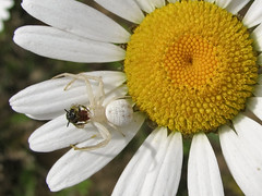 Bee Headed (imagesonsite) Tags: flowers flower nature fleurs spider insects bee daisy et paysages photosandcalendar flowersarebeautiful mimamorflowers flickrflorescloseupmacros panoramafotogrfico flickrsportal esenciadelanaturaleza