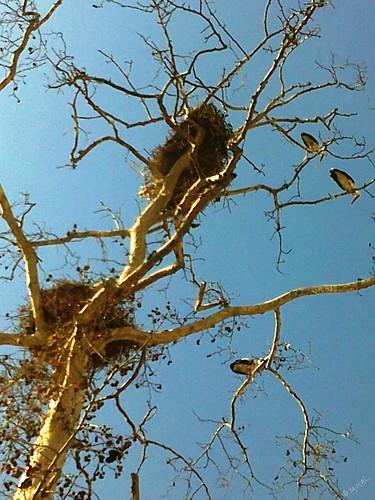 Ciconia ciconia لقلاق أبيض