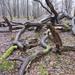 Twisting Fallen Tree Trunks