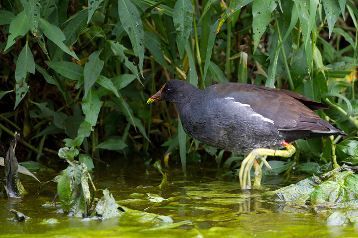 012811_CommonMoorhen