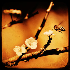 Selected (CPMcGann) Tags: texture square golden interesting blossoms honey plumblossoms ttv