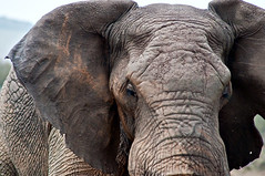 Elephant approaching (LimeWave Photo) Tags: africa travel wild elephant animal closeup kenya wildlife safari wrinkles maasai savanna bigfive masaimara limewave jksafaris