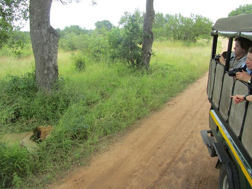 Close Encounter with a Lion at Kruger National Park