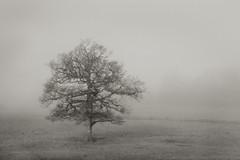 Chinthurst Walk (Carol Drew) Tags: uk winter tree countryside walks surrey lone lonetree rambles southernengland threecounties mistytree mistylandscape