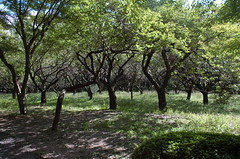 Grove of Cherry Trees? (pjchmiel) Tags: trees japan kyoto orchard fruittree kyotobotanicalgarden
