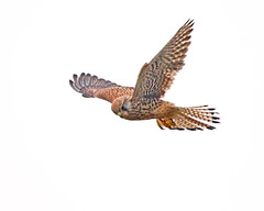 Kestrel (Andrew Haynes Wildlife Images) Tags: bird nature wildlife kestrel hightide rspb parkgate canon7d ajh2008
