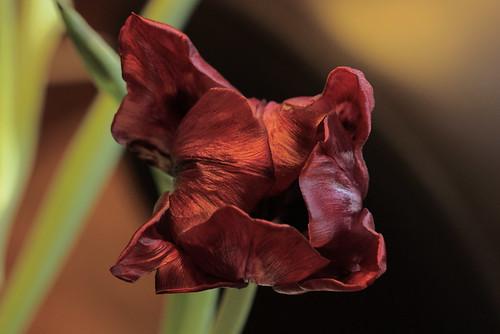 17/52: Tulip study