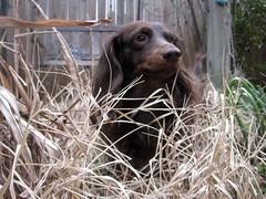 dog chien pet hound canine dachshund perro hund link wienerdog dackel teckel k9 doxie sausagedog aplaceforportraits pointyfaceddog