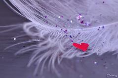 Afili yalnzlk / Swaggering loneliness (morkedi ) Tags: red macro purple heart feather makro sim mor 105mm kalp krmz ty morkedi nikond90 afiliyalnzlk morkedi swaggeringloneliness