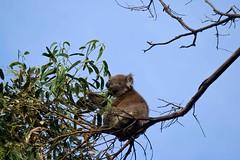"""Damn, that guy is using a huge telephoto lens, Nosey B@stard"" (Lathkill96) Tags: australia victoria koala greatoceanroad kennettriver gor canon100400l greyriverroad kennettriverkoalawalk"
